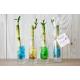 Bambou d'eau en vase individuel