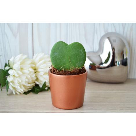 Plante en forme de cœur Hoya dans un pot publicitaire