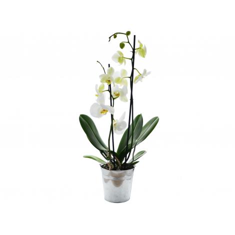 Orchidée en pot publicitaire