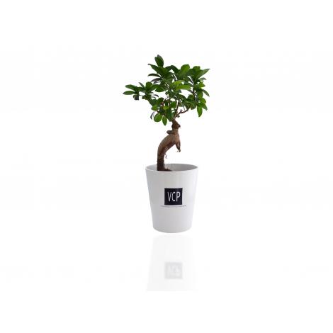 Ficus ginsen - Bonsaï du débutant