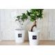 Ficus ginseng en pot publicitaire
