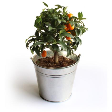 Oranger Kumquat en pot zinc publicitaire
