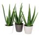 Plant d'aloé vera personnalisable